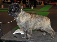 Cairn Terrier dog Royalty Free Stock Photos