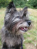 Cairn Terrier dog portrait. A very happy and alert Cairn Terrier dog portrait in close-up Royalty Free Stock Photos