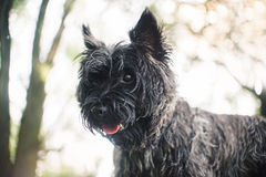 Cairn Terrier dog, portrait close Royalty Free Stock Photos