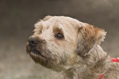 Cairn terrier dog in profile close up. Head shot taken in front of neutral background stock photography