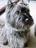 Cairn Terrier. Earnest Cairn Terrier pet at home stock images