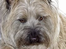 Cairn Terrier. Earnest Cairn Terrier pet at home royalty free stock photo