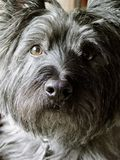 Cairn Terrier. Earnest Cairn Terrier pet at home stock image