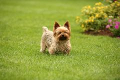 Cairn terrier in the grass. Cairn terrier ears up in the grass with flowers royalty free stock image