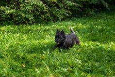 Cairn Terrier fonctionnant sur l'herbe photo stock