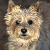 Cairn terrier headshot Stock Photos
