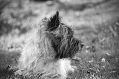 Cairn Terrier lying on grass stock photography