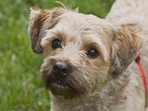 Cairn terrier mixed breed dog outdoors. Lovable cairn terrier mixed breed dog, head shot, looking up taken outdoors in front of a green grassy background stock photo