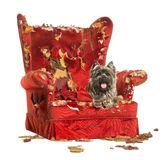 Cairn Terrier panting, lying on a destroyed armchair, isolated. On white Stock Photo