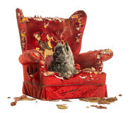 Cairn Terrier panting, lying on a destroyed armchair, isolated Royalty Free Stock Images