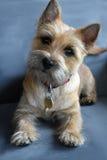 Cairn terrier Stock Image