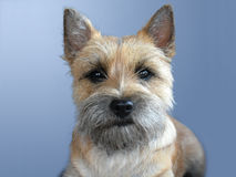 Cairn terrier Royalty Free Stock Image