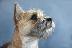 Cairn terrier. Portrait of a young cairn terrier stock photography