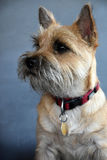 Cairn terrier Royalty Free Stock Photo