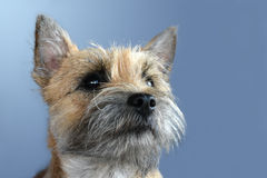 Cairn terrier. Portrait of a young cairn terrier royalty free stock photography