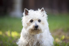 Cairn Terrier posing outdoors. White Cairn Terrier posing outdoors Stock Photography