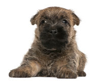 Cairn Terrier Puppy, 6 weeks old Stock Images