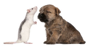 Cairn Terrier Puppy, 6 weeks old, and a rat. In front of white background Royalty Free Stock Image