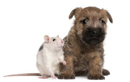 Cairn Terrier Puppy, 6 weeks old, and a rat. In front of white background Royalty Free Stock Photos