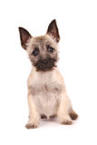 Cairn Terrier Puppy. A cute Cairn Terrier puppy looking at you Stock Images