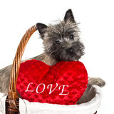 Cairn Terrier Puppy Stock Photos
