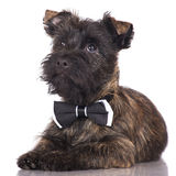 Cairn terrier puppy in a bow tie Stock Photos