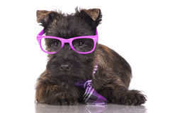Cairn terrier puppy in glasses and a tie Stock Photography