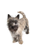 Cairn Terrier Puppy Royalty Free Stock Photography