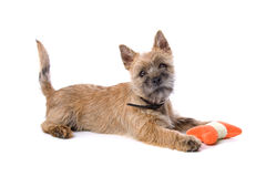 Cairn terrier puppy playing royalty free stock photos