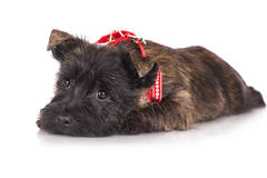 Cairn terrier puppy in a red bandana Stock Image