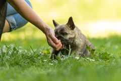 Cairn Terrier puppy 13 weeks old . royalty free stock photos