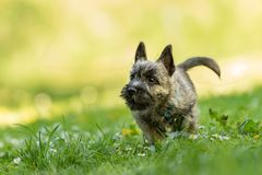 Cairn Terrier puppy 13 weeks old. Cute little dog runs. Over a meadow stock photos