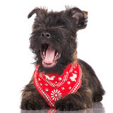 Cairn terrier puppy yawning Stock Photos