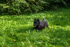 Cairn Terrier Running on the grass.  stock photo