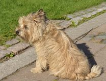 Cairn Terrier sits. Turku, Finland Stock Photos