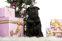 Cairn Terrier sitting in front of Christmas decorations Royalty Free Stock Images