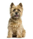 Cairn terrier sitting. In front of a white background stock photos