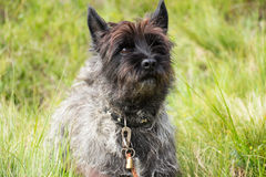 Cairn Terrier. Sitting on grass royalty free stock photos