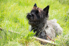 Cairn Terrier Royalty Free Stock Images