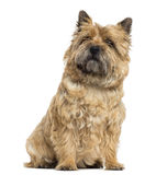 Cairn Terrier sitting, looking up, isolated Stock Photo