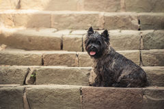Cairn Terrier sitting at old staircase in Szentendre Royalty Free Stock Photography