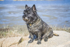 Cairn terrier sitting on a rock. The picture is shot in Dusa which is a recreation area just outside Halden, Norway. The dog is named Rex and is well known in Royalty Free Stock Photography