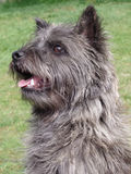 Cairn Terrier from Skye, Scotland portrait. Cairn terrier from the Isle of Skye in Scotland.They were used as hunters. The Cairn Terrier is a very friendly royalty free stock images