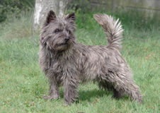 Cairn Terrier from Skye, Scotland standing. This is Pelle, a young Cairn terrier from the Isle of Skye in Scotland.They were used as hunters. The Cairn Terrier royalty free stock image