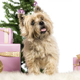 Cairn Terrier standing Stock Images