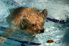 Cairn Terrier Swimming. In pool on sunny day, attempting to retrieve floating rotten lemon, wet fur, bubbles and ripples swirling around dog as she paddles Royalty Free Stock Photography