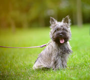 Cairn terrier on a walk. In the summer park royalty free stock image