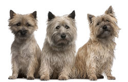 Cairn Terriers, 12 and 2 years old, sitting royalty free stock photo