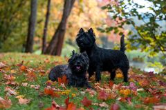 Cairn Terriers Couple sitting on the grass.  Royalty Free Stock Photos
