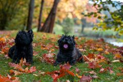 Cairn Terriers Couple sitting on the grass.  Royalty Free Stock Image